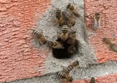 Honey bee swarm collection
